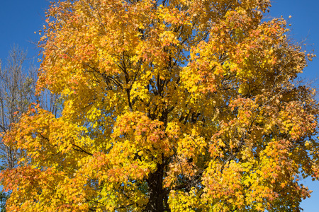 aceraceae: Yellow Maple Tree background in the fall. There is space for text.
