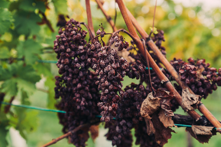Closeup to old withered red grapes on a wine plantation at a Vineyard. Stock Photo