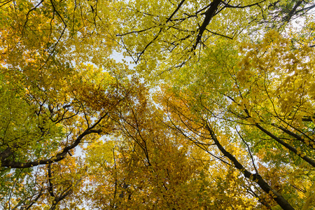 tree canopy: Autumn Tree Canopy in a Forest in Austria. There is space for text.
