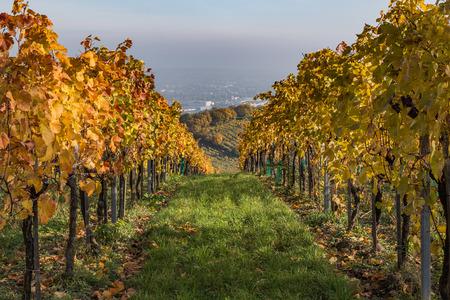 hojas de colores en Vineyard plantaciones en Austria durante el otoño