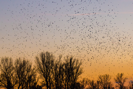 alte: Large amounts of birds flying near the Alte Donau in Vienna at sunset.