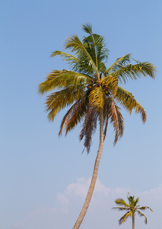 south india: Palm Tree in the Kerala Backwaters of South India.
