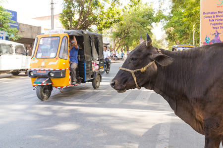 tuk tuk: UDAIPUR, INDIA - 20TH MARCH 2016: A cow at the side of a road in Udaipur, India. A Tuk Tuk Rickshaw can be seen on the road.