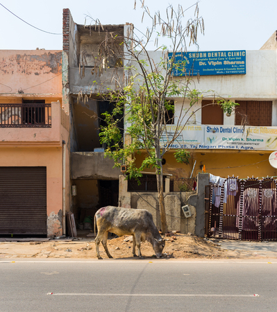 crazing: AGRA, INDIA - 26TH MARCH 2016: A cow crazing at the side of a road in Agra during the day. Buildings can be seen.