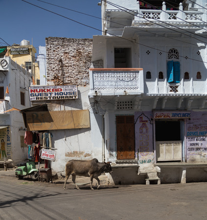 india cow: UDAIPUR, INDIA - 20TH MARCH 2016: A cow wandering along roads and streets in central Udaipur during the day