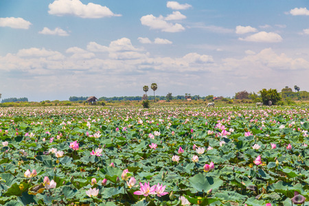 Large lotus field during the day outside of Siem Reap, Cambodia. Lots of pink lotus flowers can be seen. Stock Photo