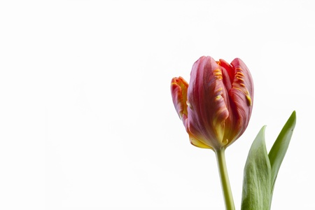 fever plant: tulip Stock Photo