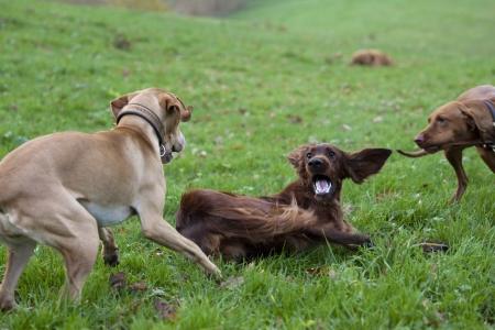 perros jugando: perros jugando
