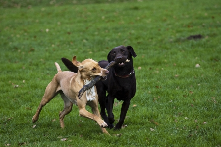 romp: dogs playing with a stick