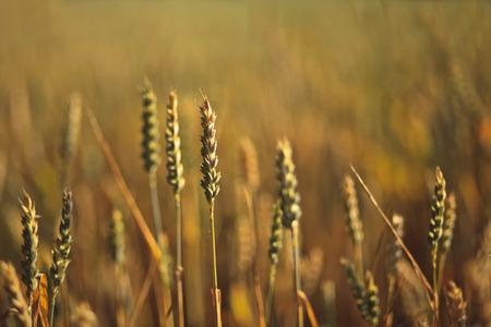 Gräser in der Abendstimmung Stock Photo
