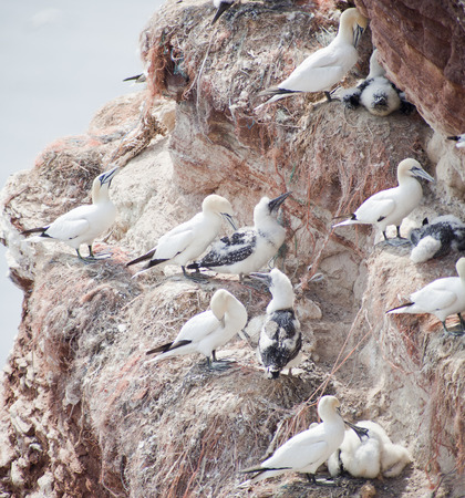 hatchery: Morus bassanus - gannets at Helgoland germany