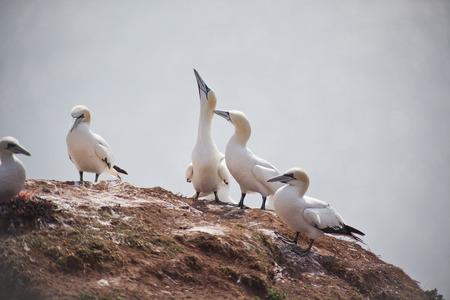 helgoland: Morus bassanus - gannets at Helgoland germany