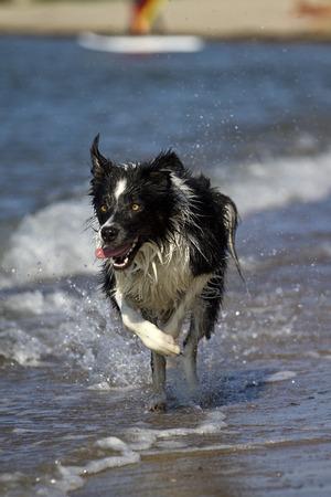 sheppard: Running australian sheppard on the water line