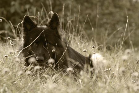 herding dog: old german shepherd dog lying in the gras