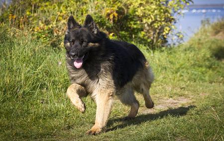 german shepherd dog: old german shepherd dog running