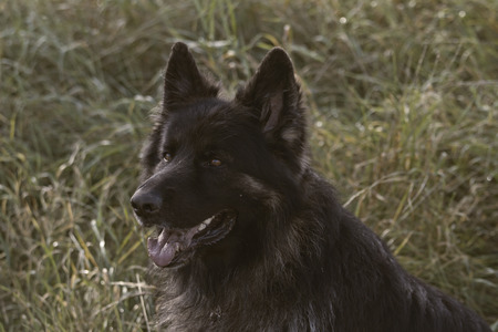 herding dog: portrait of old german shepherd dog Stock Photo
