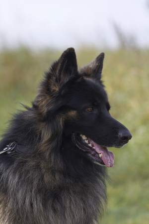 herding dog: old german shepherd dog