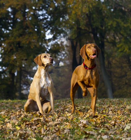 attentive: two attentive Magyar Vizsla hunting dogs Stock Photo