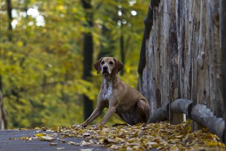 vizsla: Magyar Vizsla hunting dog sitting down