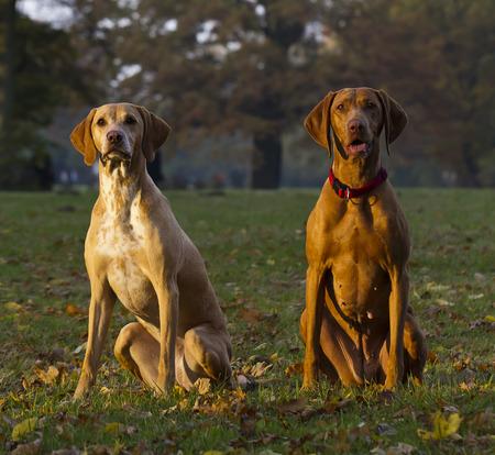 vizsla: two attentive Magyar Vizsla hunting dogs Stock Photo