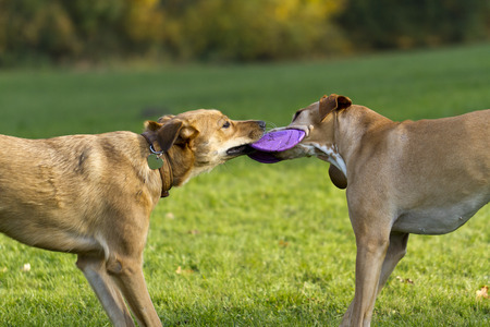 frisbee: two dogs playing with frisbee Stock Photo