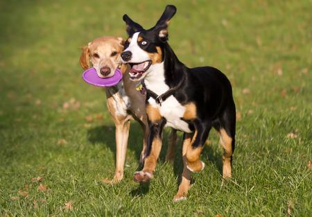 perros jugando: dos perros jugando con el disco volador Foto de archivo