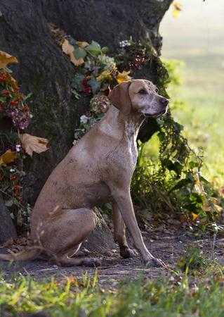 vizsla: Magyar Vizsla hunting dog Stock Photo