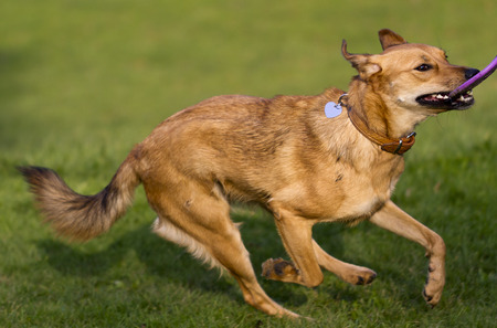 frisbee: Mixed-breed dog running with frisbee
