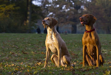magyar: two attentive Magyar Vizsla hunting dogs Stock Photo