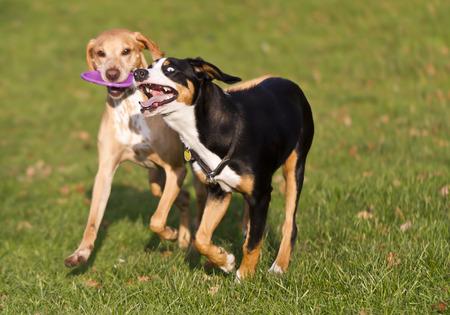 dogs playing: dos perros jugando con el disco volador Foto de archivo