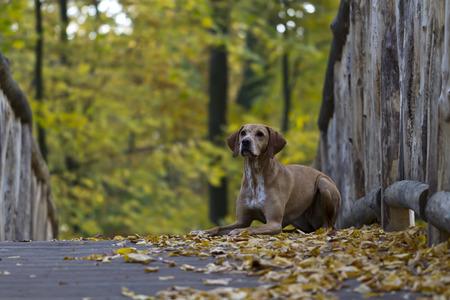 magyar: Magyar Vizsla hunting dog lying on a bridge