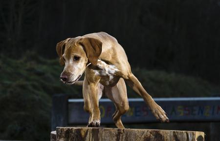Busard le roseau prêt pour la chasse Banque d'images - 85096352