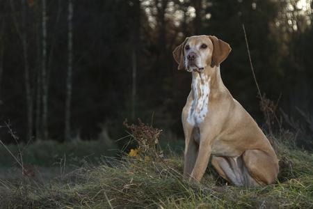 magyar Vizsla dog sitting on a glade Stock Photo