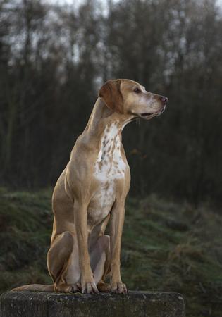 magyar Vizsla dog sitting on a tree stump