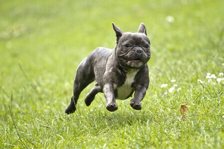 French bulldog in blue color with a stick in his mouth running over a green meadow