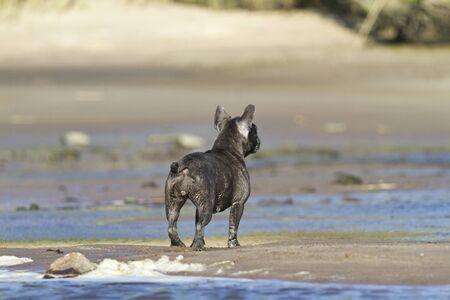French bulldog stands at the beach waterline looking at the beach Archivio Fotografico
