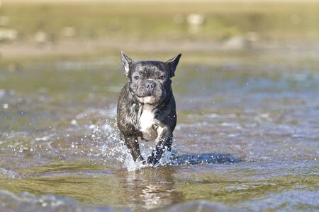 French bulldog in blue playing around on the beach waterline having fun