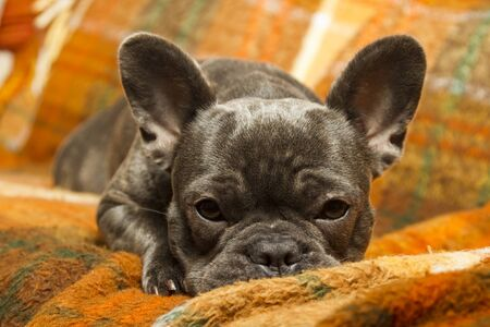 French bulldog in blue color with open eyes lying on the sofa