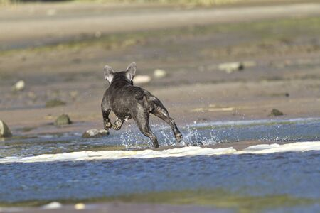 French bulldog runs at the beach waterline having fun