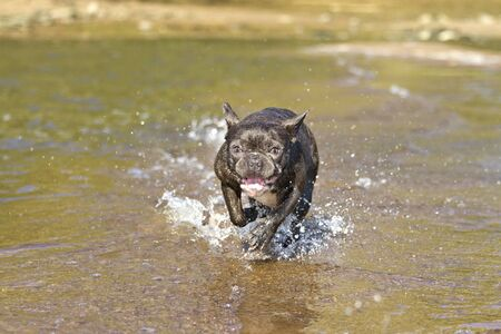 French bulldog in blue runs along the beach waterline having fun with the splashing water