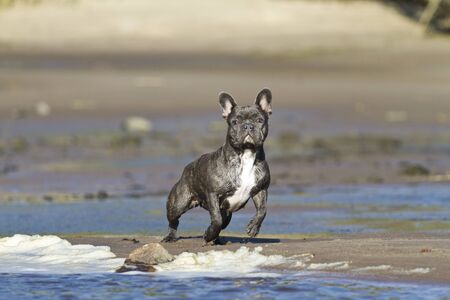French bulldog stands on the beach waterline ready for action Stock Photo