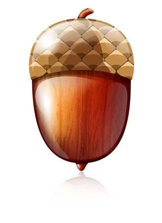 acorn: Vector illustration of glossy acorn on white background Illustration