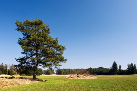 grass field: Lonely pine tree in spring landscape