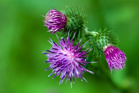 Purple thistle flowers on green background photo