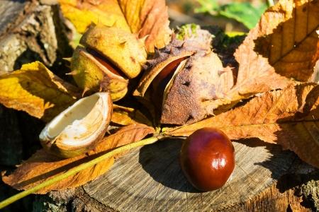 buckeye seed: Chestnuts in detail - autumn motive