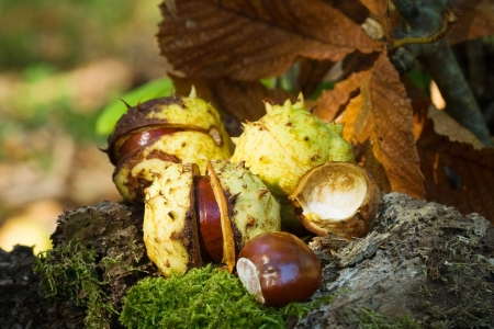 buckeye seed: Chestnuts - autumn motive