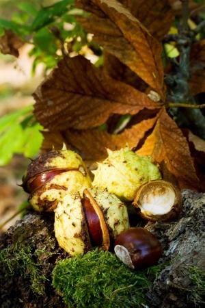 buckeye seed: Chestnuts - fall nature motive