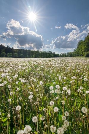 dia soleado: Pradera con dientes de le�n se desvaneci� - paisaje de verano