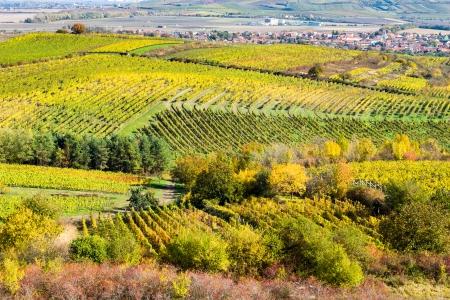grape field: Amazing autumn landscape with vineyards