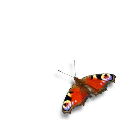 admiral: Red admiral butterfly with shadow - isolated on white background